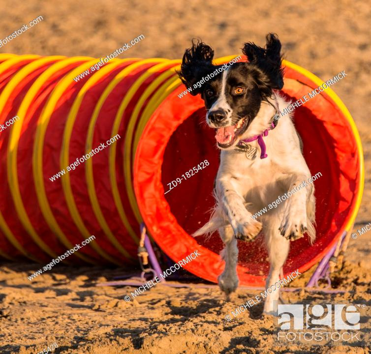 Stock Photo: A spring spaniel joyously races out of the agility tunnel.