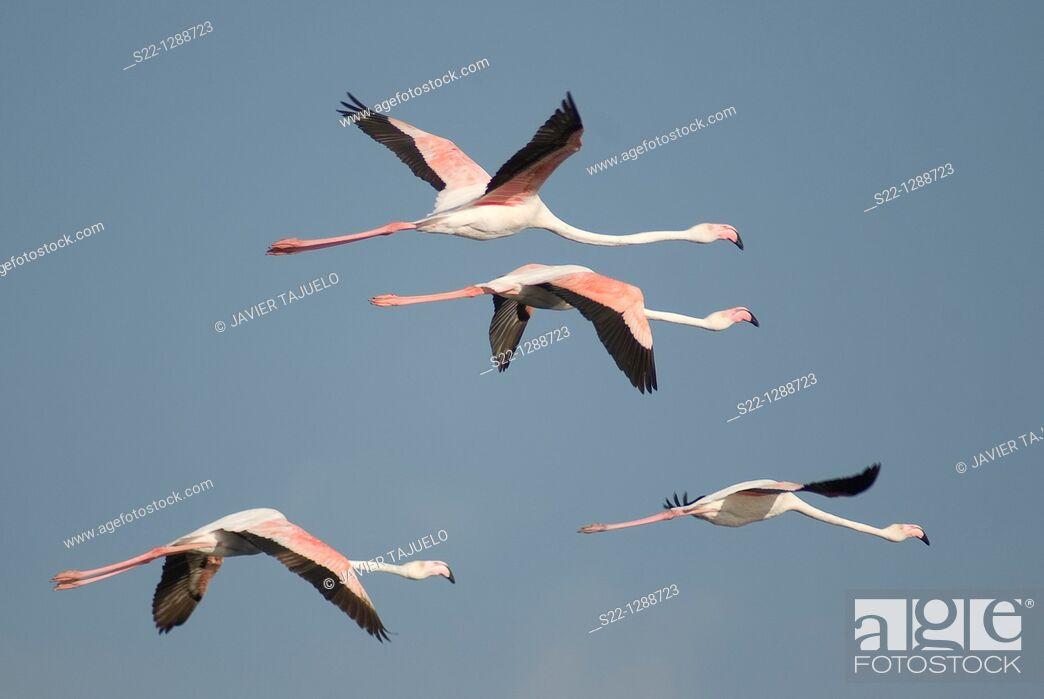 Stock Photo: Greater Flamingoes (Phoenicopterus ruber).
