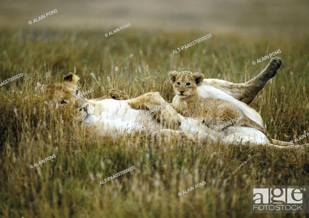 Stock Photo: Africa, Tanzania, lion cub sitting on lioness' abdomen.