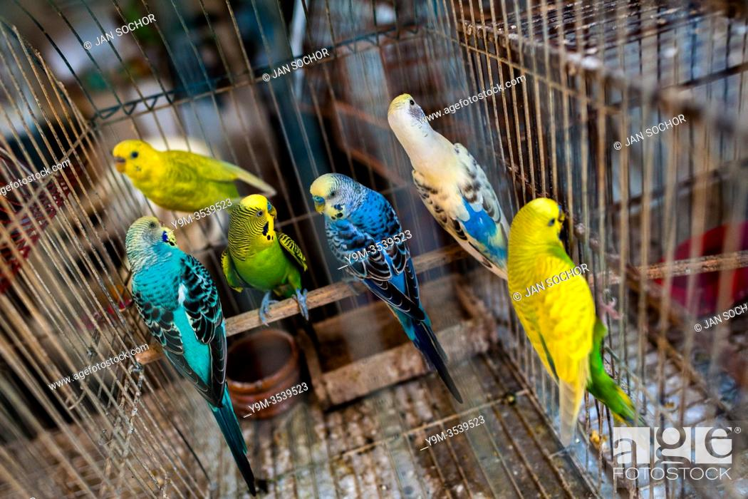 Stock Photo: Pet birds (budgerigar parrots) are seen inside a birdcage in the bird market in Cartagena, Colombia, 17 April 2018. Keeping caged birds in houses.