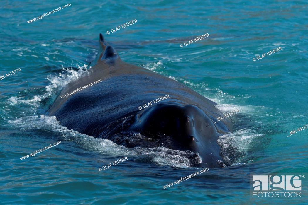 Stock Photo: Humpback whale (Megaptera novaeangliae) swimming, Eyjafjörður, Iceland.