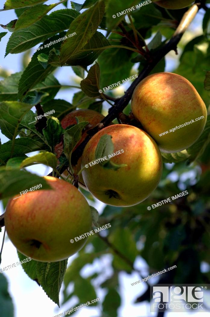 Stock Photo: Apples in the apple tree.