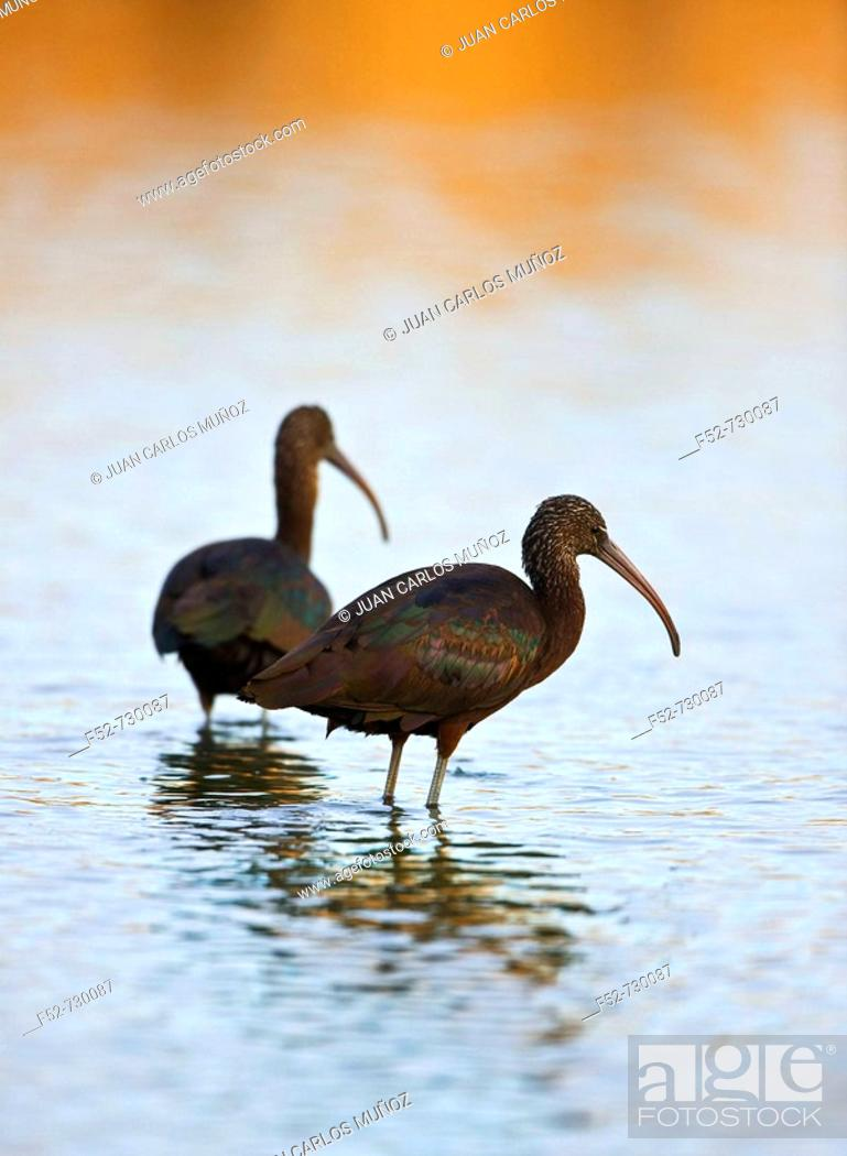 Stock Photo: Glossy Ibis (Plegadis falcinellus). Andalucia, Spain.
