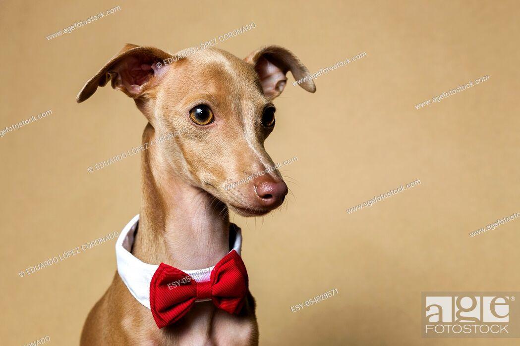Stock Photo: Studio portrait of little italian greyhound dog. Friendly and fun.