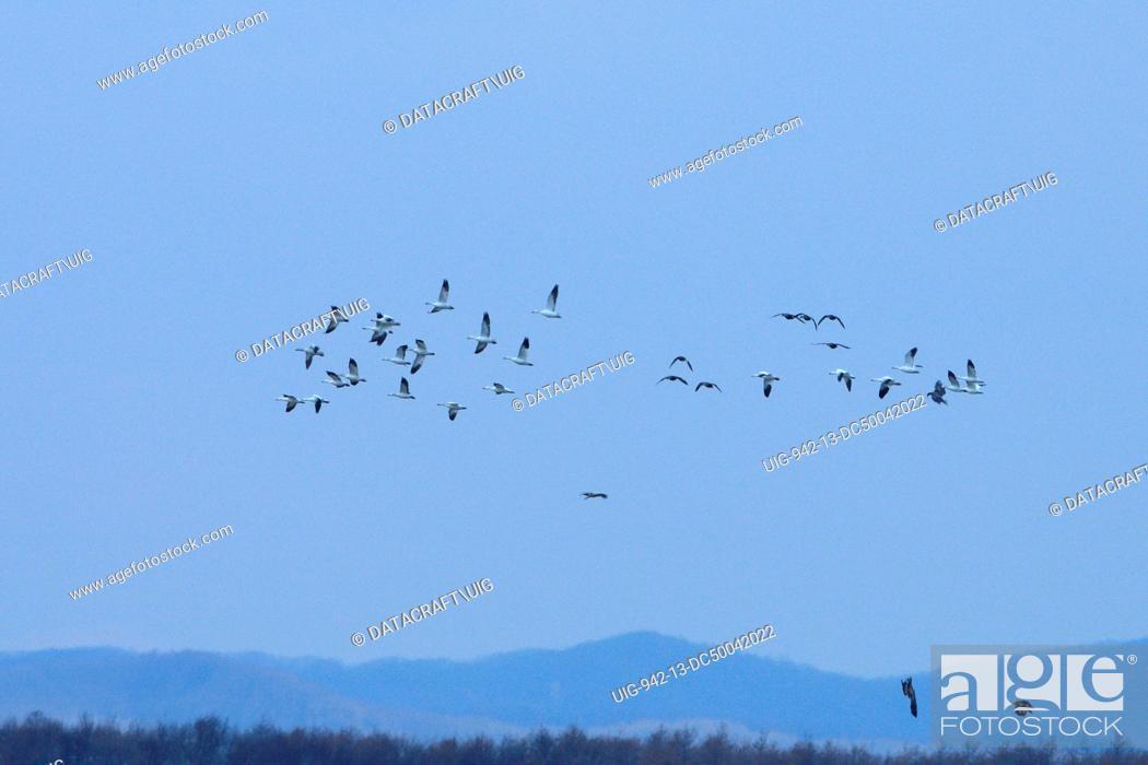 Stock Photo: Flock of Snow geese.