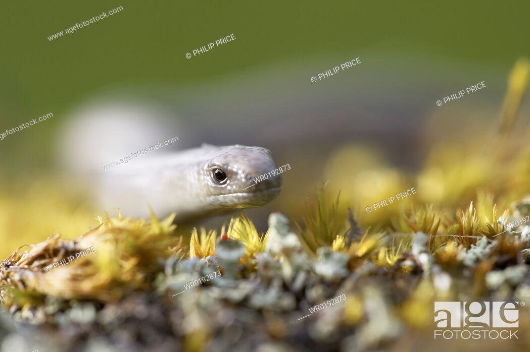 Stock Photo: Slow Worm Anguis fragilis amongst moss on a rock Argyll, Scotland, UK.