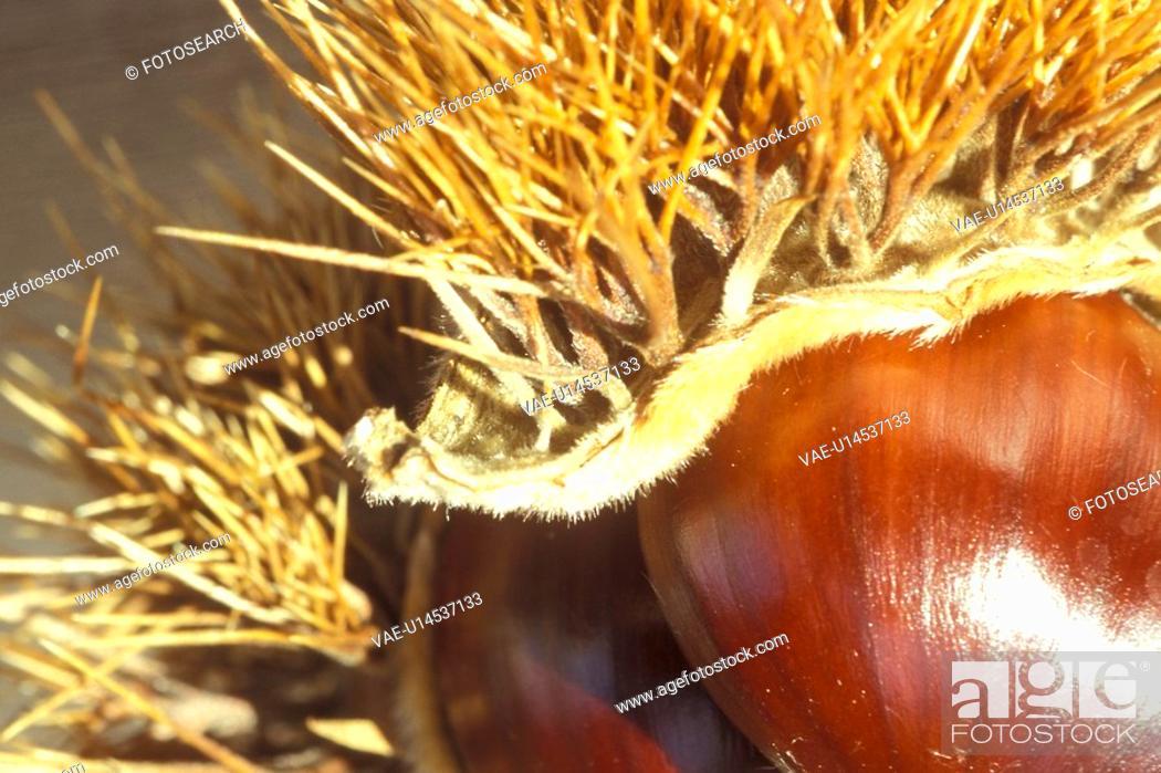 Stock Photo: beige, Bernhard, brown, castanea, chestnut.