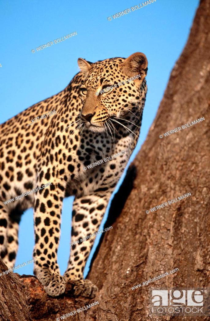 Stock Photo: Leopard (Panthera pardus), female. Samburu National Reserve. Kenya.