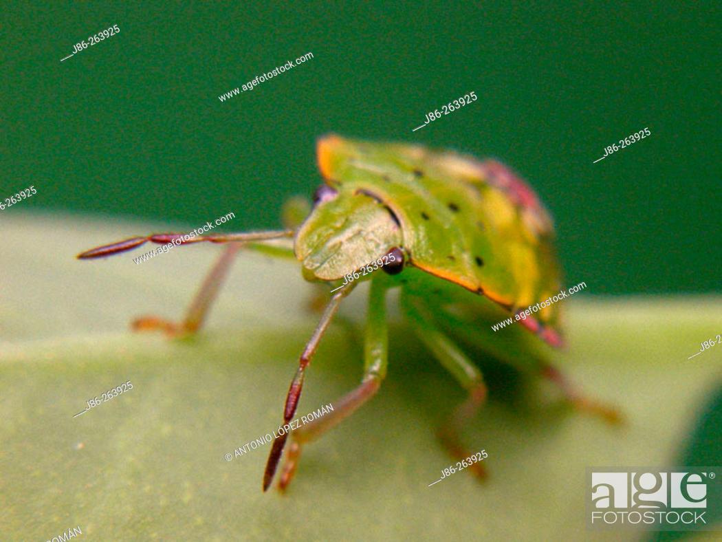 Stock Photo: Southern Green Stinkbug (Nezara viridula) nymph.