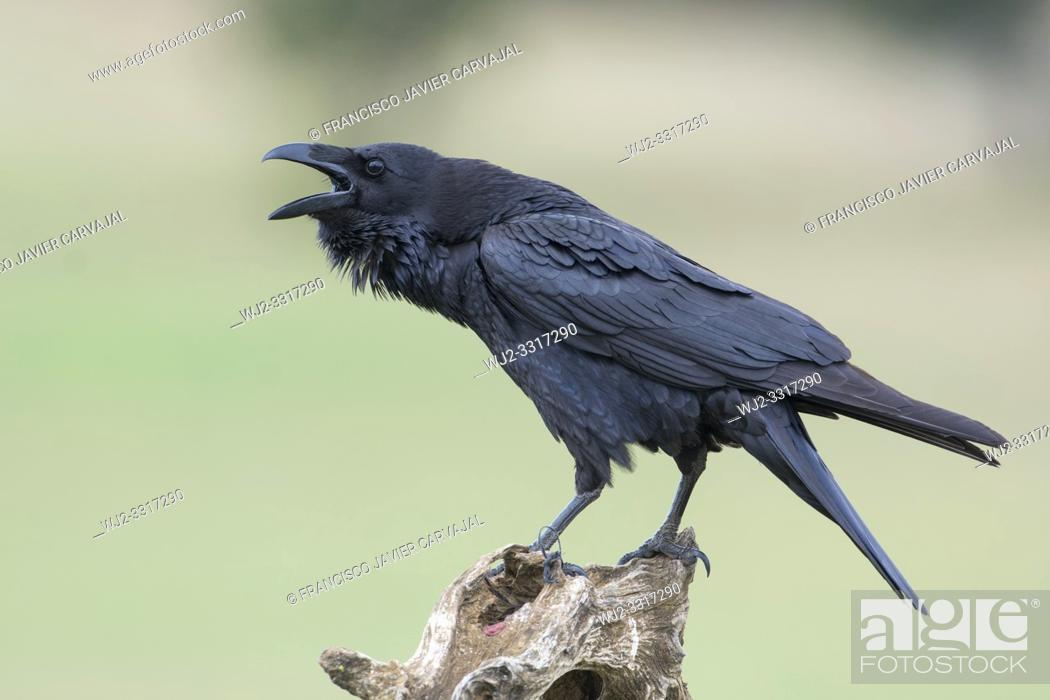 Imagen: Common raven, (Corvus corax) on a trunk in the meadow of Extremadura, Spain.