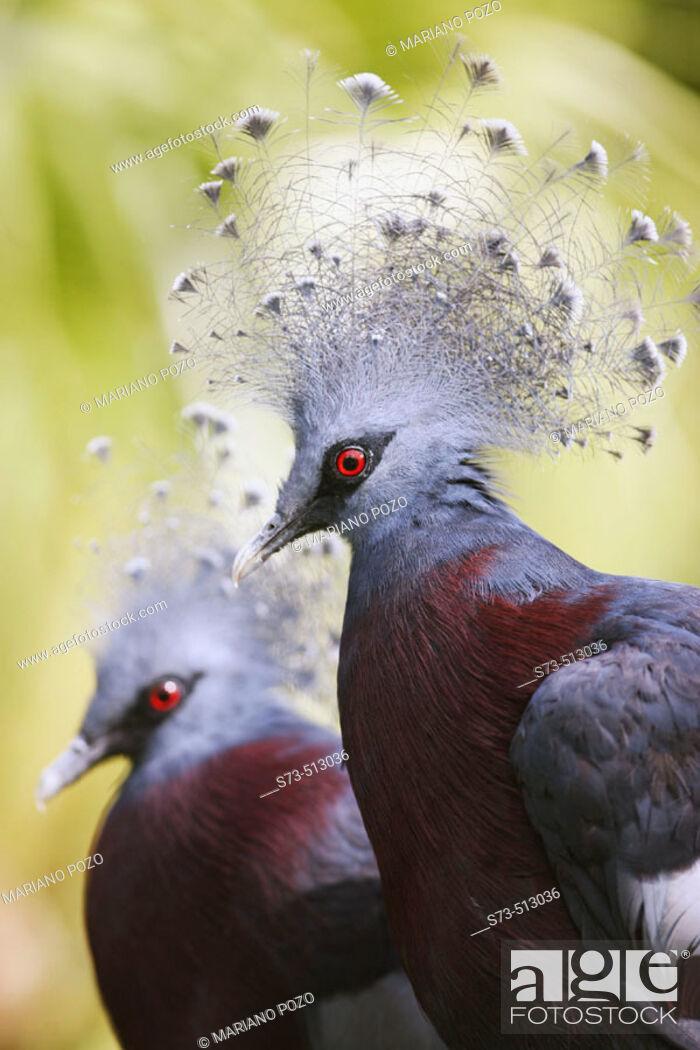 Stock Photo: Victoria Crowned Pigeon (Goura victoria).