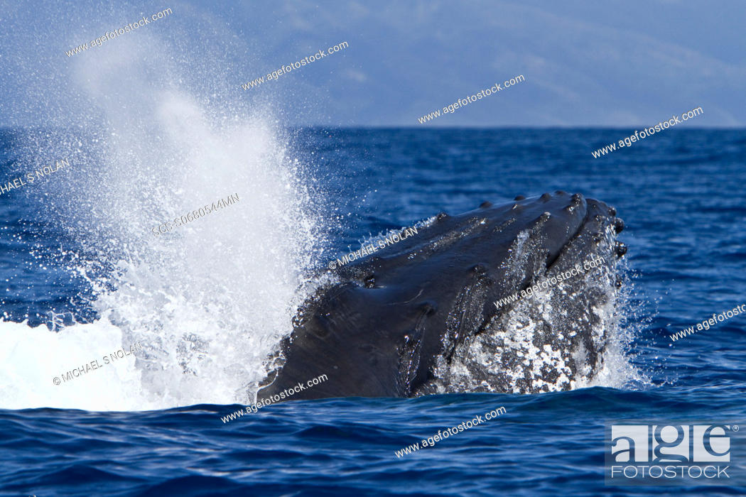 Stock Photo: Adult male humpback whale Megaptera novaeangliae head-lunging in the AuAu Channel between the islands of Maui and Lanai, Hawaii, USA.