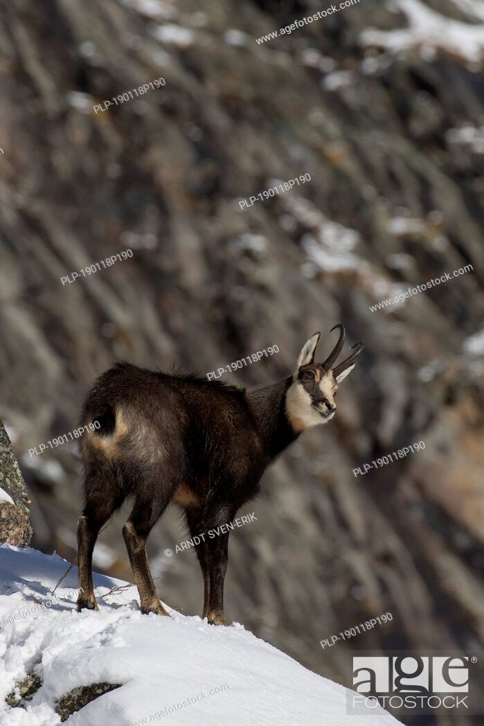 Imagen: Chamois (Rupicapra rupicapra) male foraging in the snow on mountain slope in winter in the European Alps.