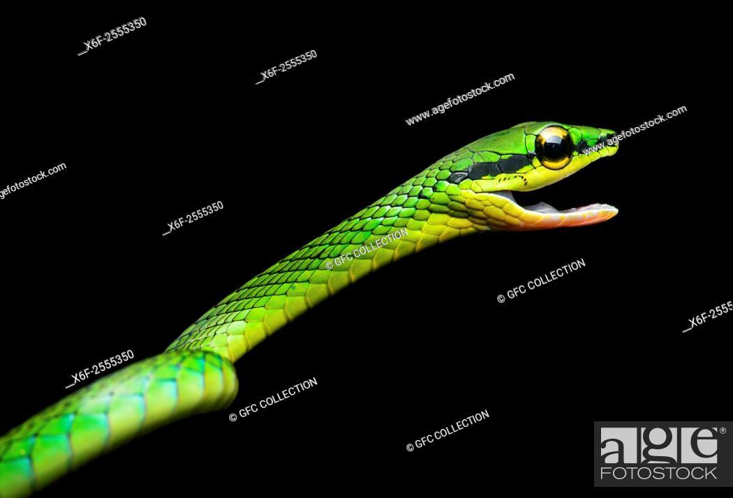 Photo de stock: Cope Vine Snake (Oxybelis brevirostris), (Colubridae family), Chocó rainforest, Ecuador.