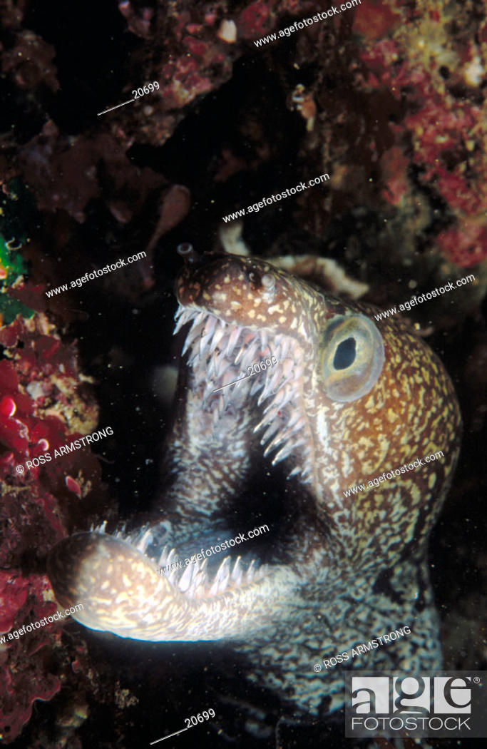 Stock Photo: Mosaic Moray (Enchelycore ramosa).
