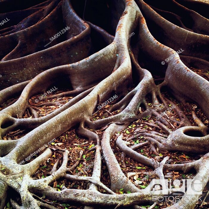 Stock Photo: The roots of a Banyan tree spread across the ground.