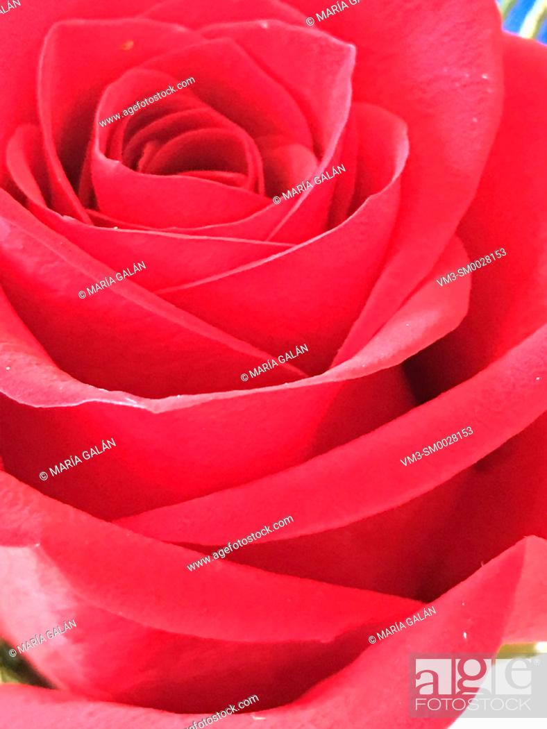 Stock Photo: Red rose. Close view.
