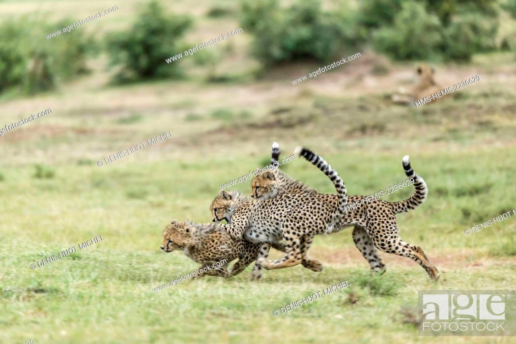Stock Photo: Kenya, Masai Mara game reserve, cheetah (Acinonyx jubatus), cubs 7/8 months old playing.