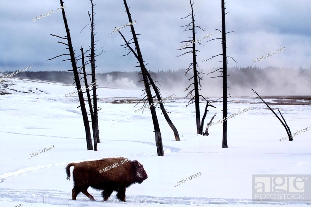 Stock Photo: A bison walks amongst the dead trees at lower geyser basin at yellowstone national park, wyoming.