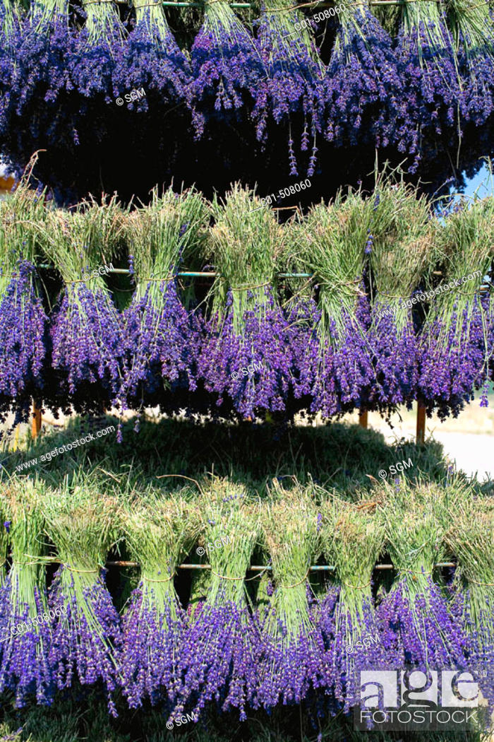 Stock Photo: Drying lavender bunches. Provence. France.