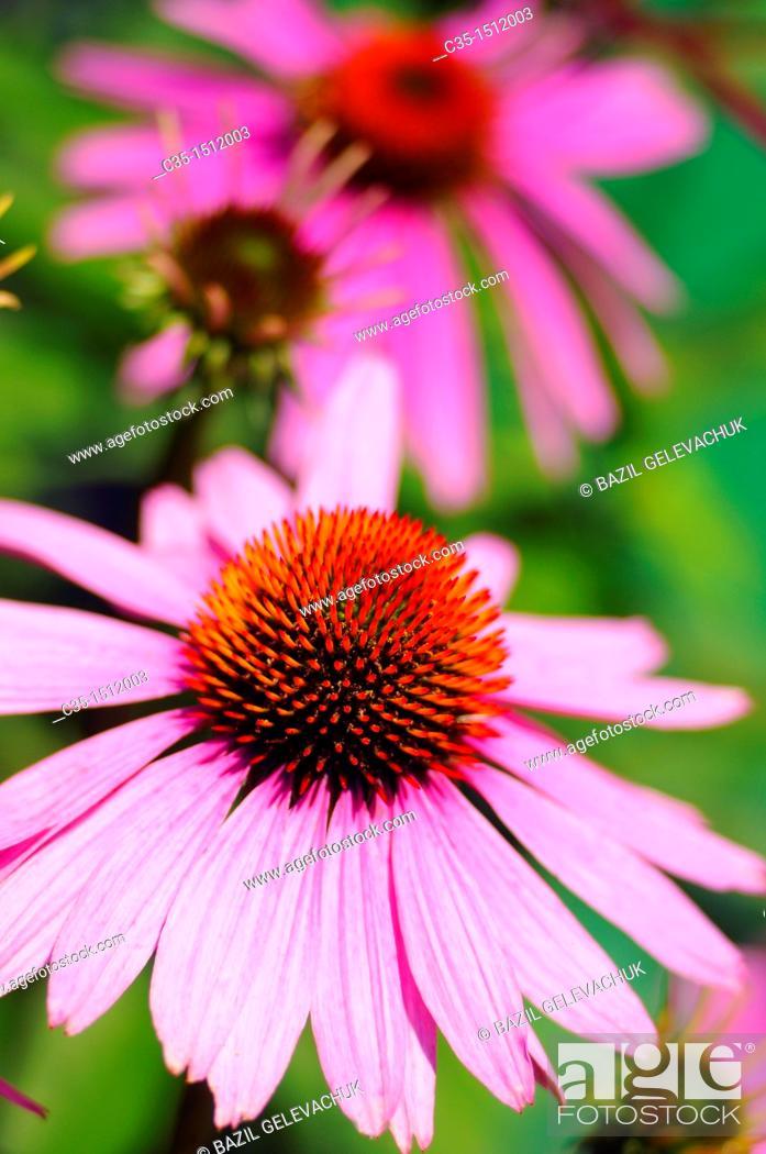 Stock Photo: Flowers Echinacea purpurea.