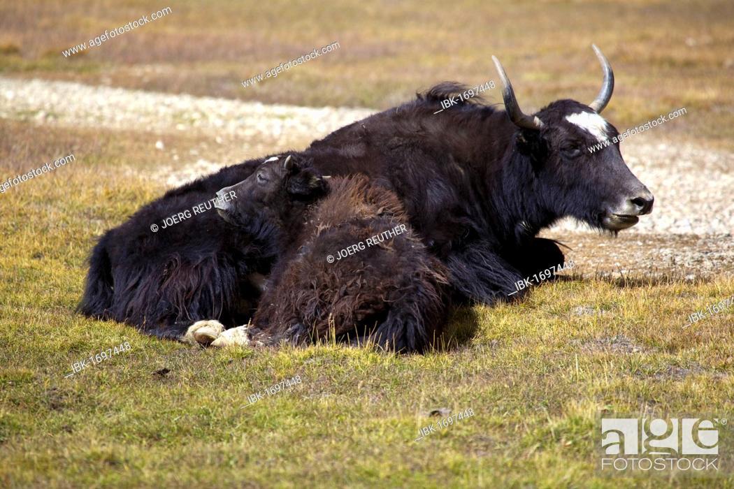 Stock Photo: Yak (Bos mutus) with calf, Pamir, Tajikistan, Central Asia.