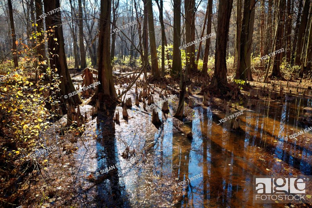 Stock Photo: The Battle Creek Cypress Swamp, the northernmost site of naturally occurring bald cypress Taxodium distichum in North America, Prince Frederick, Maryland.