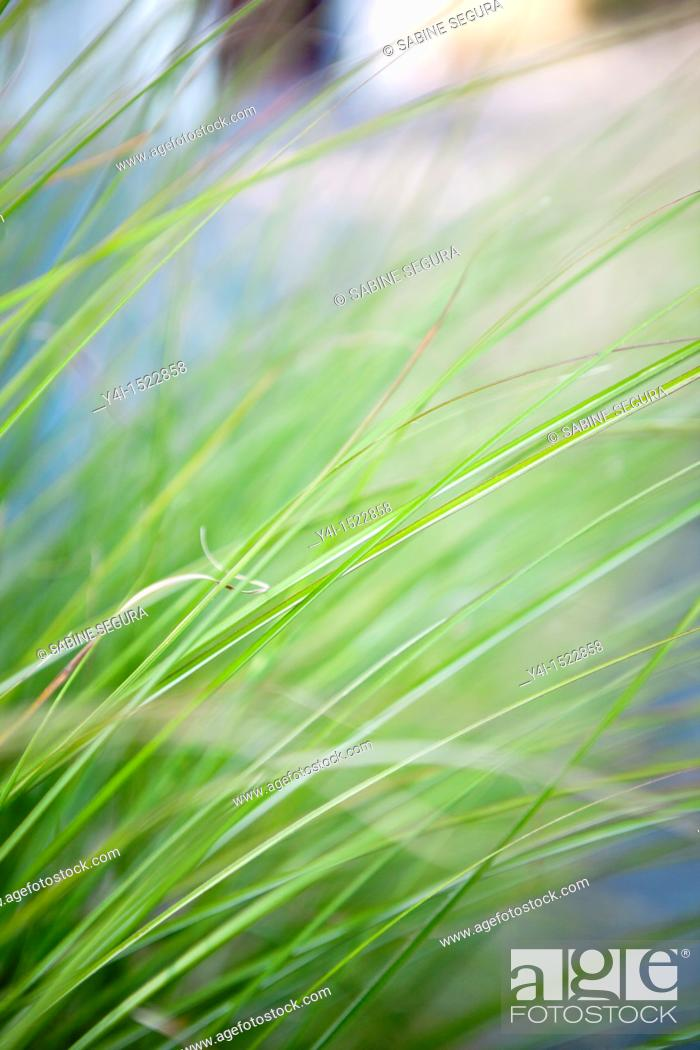 Imagen: Close-up of grass. Le Teich. Gironde. Aquitaine. France.