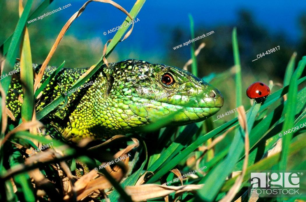 Stock Photo: Green lizard (Lacerta viridis). Urdaibai estuary. Vizcaya. Spain.