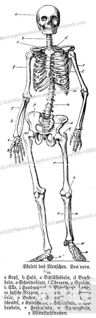 Stock Photo: Human skeleton.