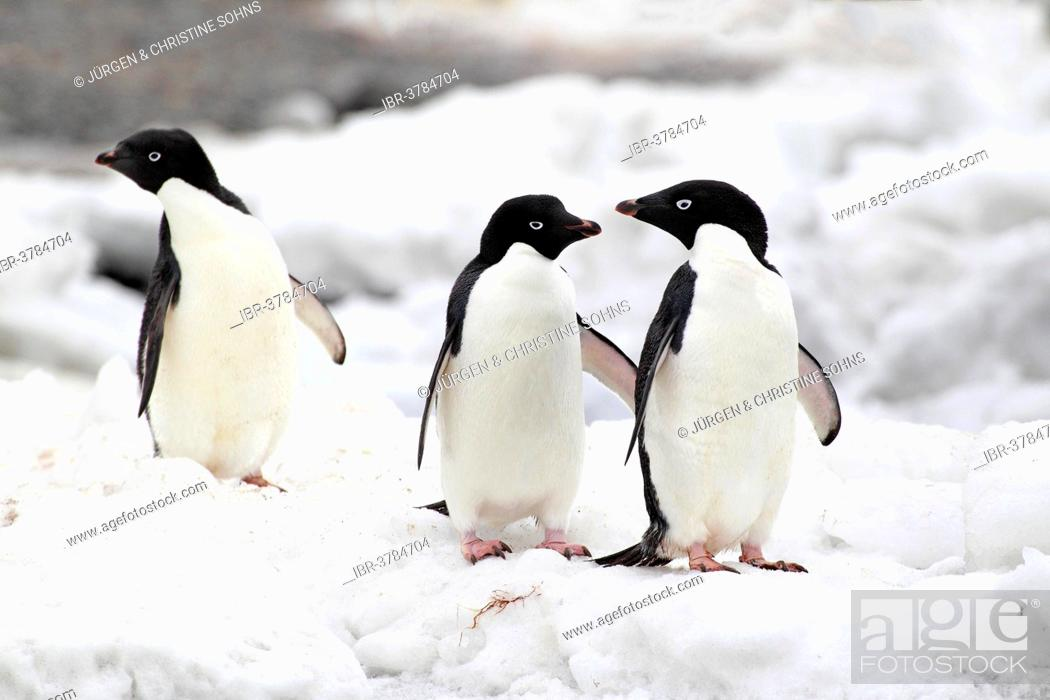 Stock Photo: Adelie Penguins (Pygoscelis adeliae), adults, Antarctica.