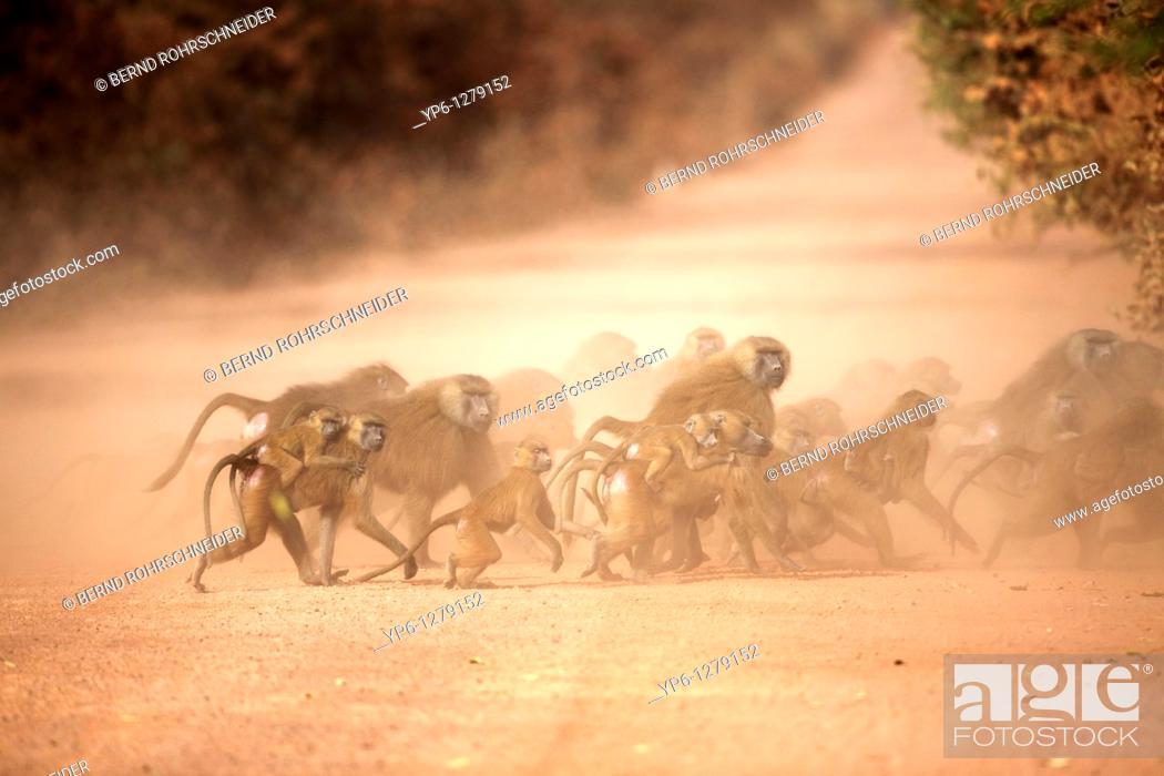 Stock Photo: Guinea Baboon, Papio papio, group crossing dirt road, The Gambia.