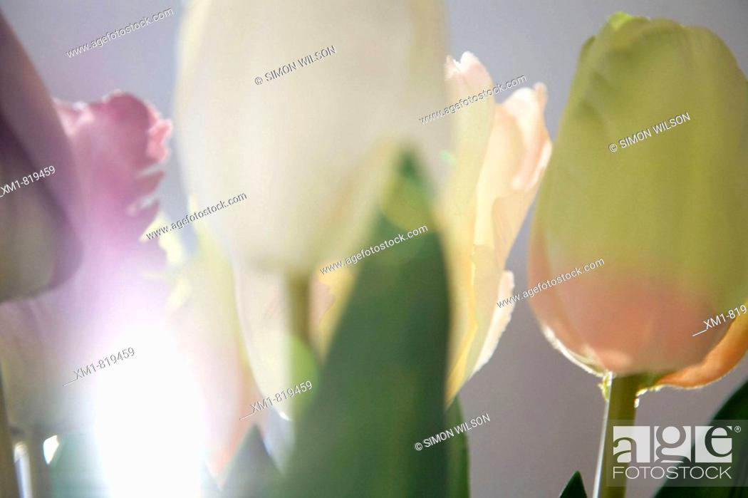Stock Photo: Close up of tulips in sunlight.