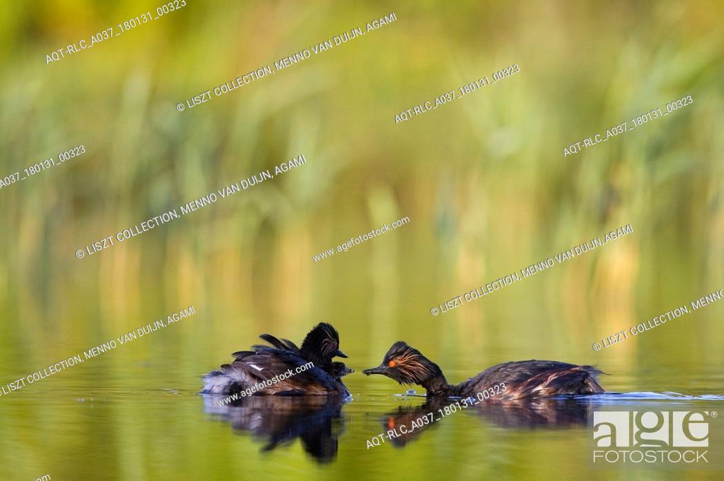 Stock Photo: Adult Black-necked Grebe in summer plumage, Black-necked Grebe, Podiceps nigricollis.
