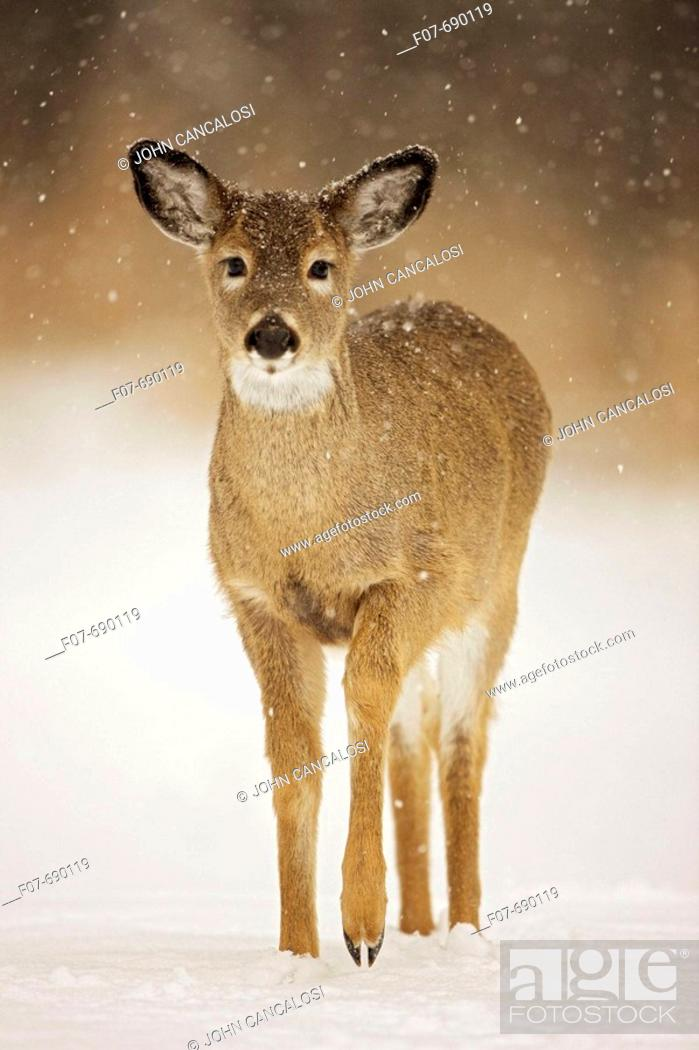 Stock Photo: White-tailed Deer (Odocoileus virginianus). New York. Fawn. In the snow. Found over much of the U.S. southern Canada and Mexico and introduced elsewhere in the.