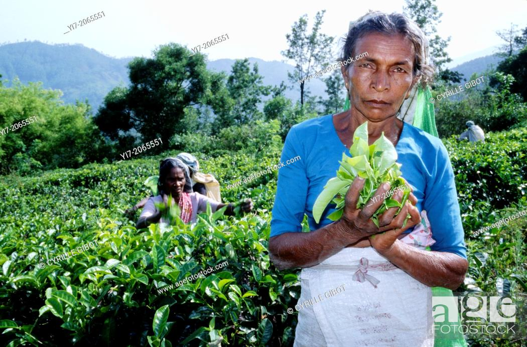 Stock Photo: Tamil woman holding tea leaves, Ella, Sri Lanka.