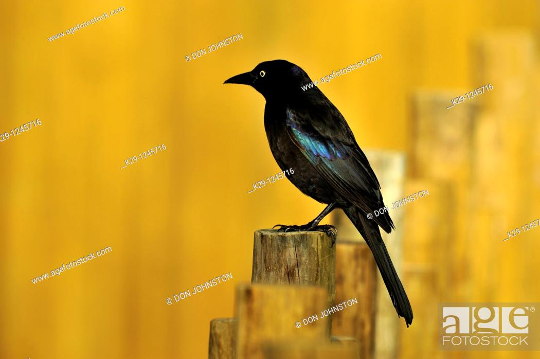 Stock Photo: Grackle Quiscalus quiscula.