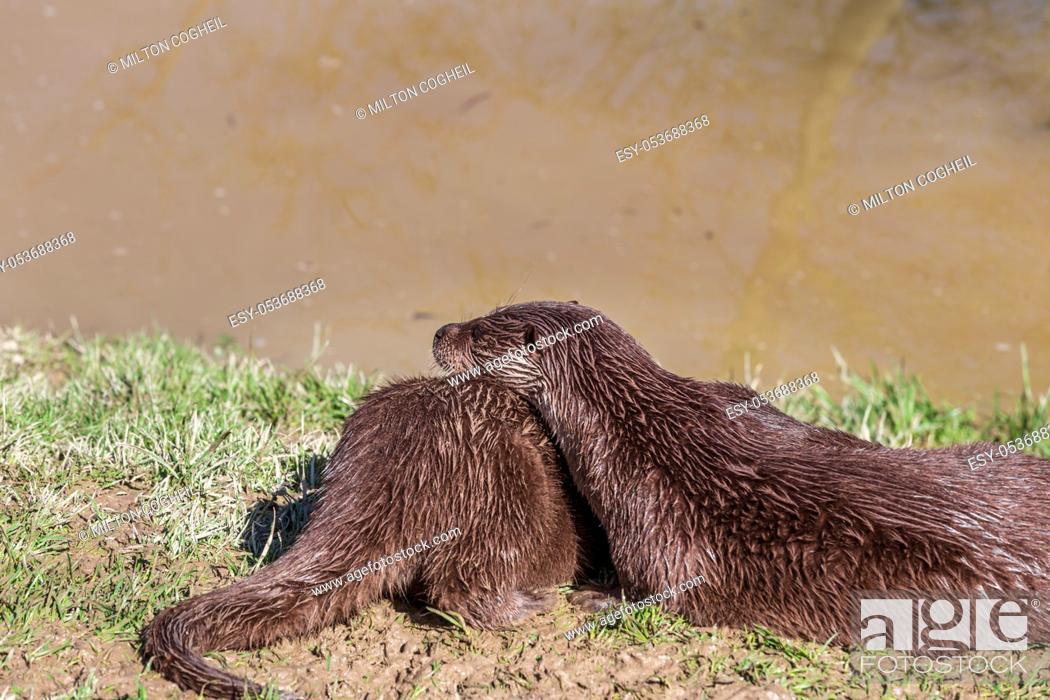 Stock Photo: European Otter, Lutra Lutra, relaxing near a river. England, UK.