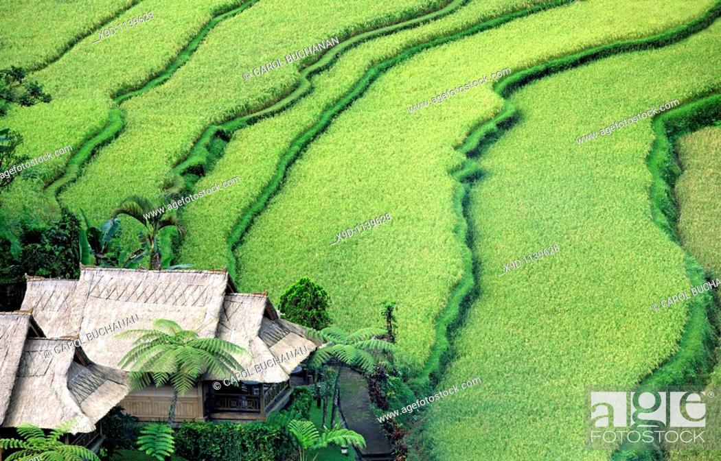 Stock Photo: Looking down on terraced rice paddies near Ubud, Bali, Indonesia  There is a balinese house next to the rice fields.