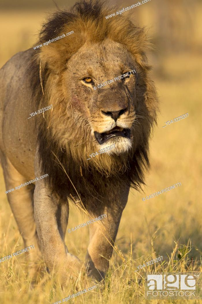 Stock Photo: African lion (Panthera leo) - Male, Savuti, Chobe National Park, Botswana.