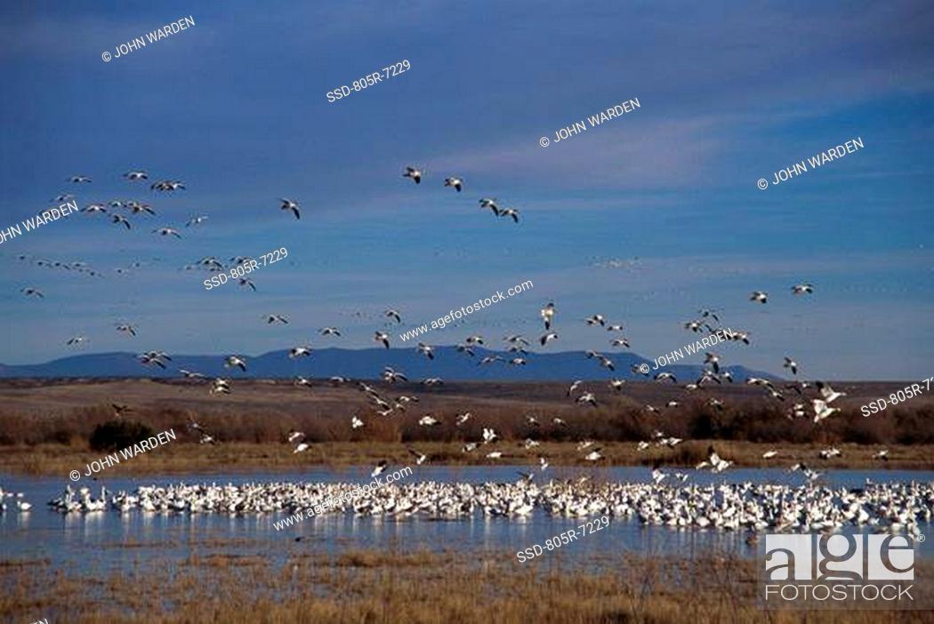Stock Photo: Flock of Snow Geese, Bosque del Apache, New Mexico, USA.