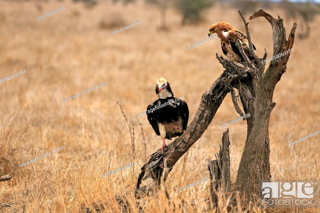 Stock Photo: Zwergadler und Wollkopfgeier auf einen Baum.