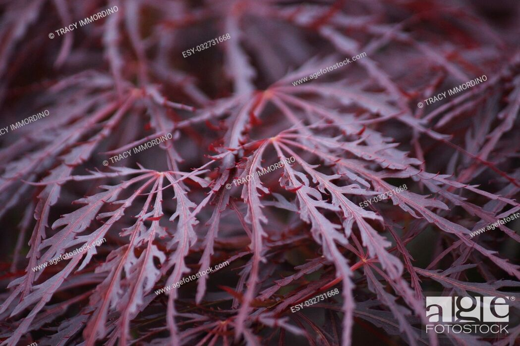 Stock Photo: Close up of the leaves of a Crimson Queen Japanese Maple tree using a bokeh effect.