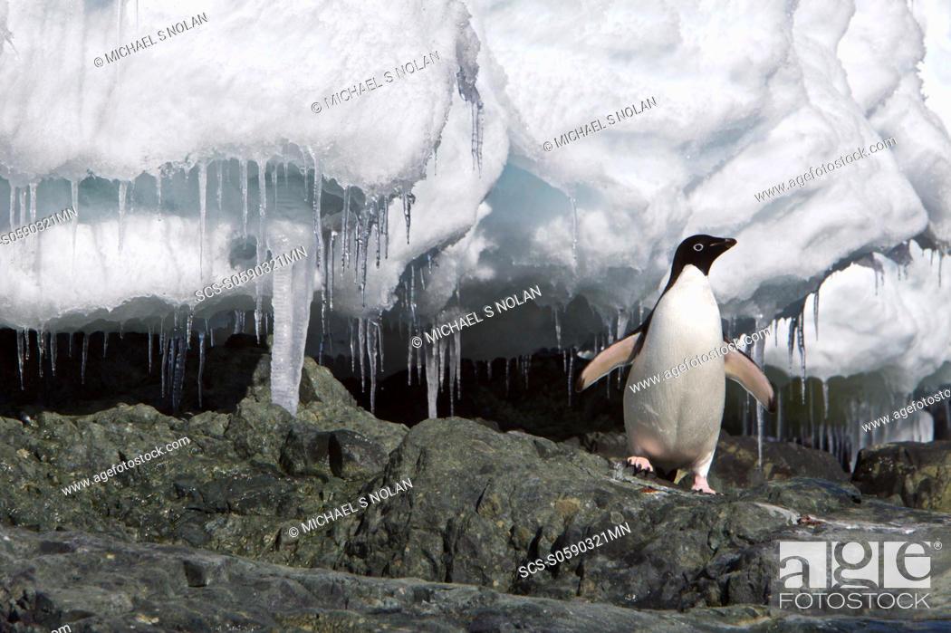 Stock Photo: Adult Adelie penguin Pygoscelis adeliae on iceberg near the Antarctic Peninsula, Antarctica The AdÇlie Penguin is a type of penguin common along the entire.