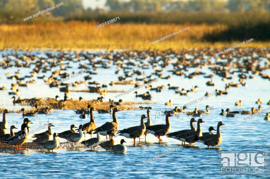 Stock Photo: Ducks and geese on pond, Sacramento National Wildlife Refuge, CA.