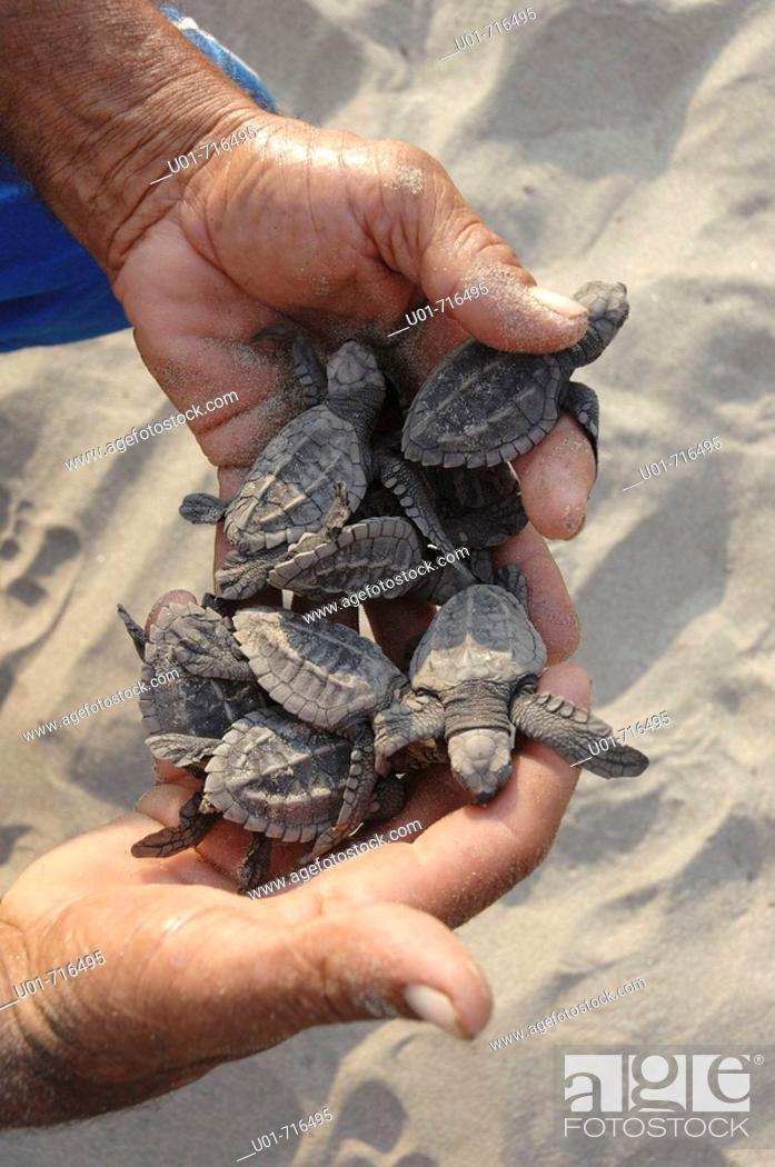 Stock Photo: Olive Ridley Sea Turtles (Lepidochelys olivacea), Mexico.