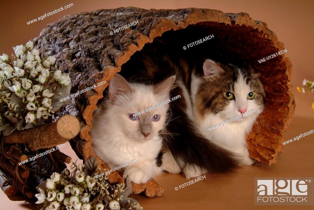 Stock Photo: closeup, turkishangora, close up, domestic animal, birman, cat.