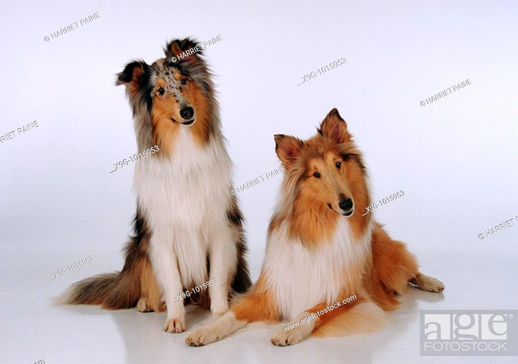 Stock Photo: Collies: type of breed.
