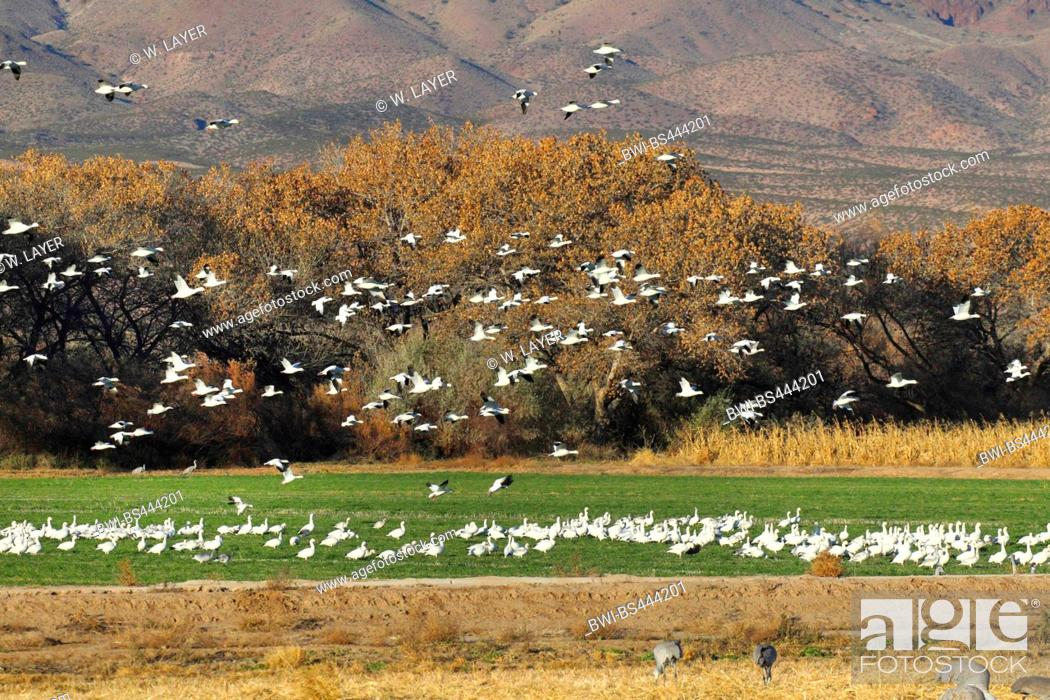 Stock Photo: snow goose (Anser caerulescens, Chen caerulescens), flock on the ground, USA, New Mexico.