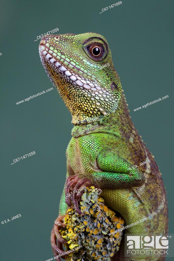 Stock Photo: Chinese water Dragon Physignathus cocincinus portrait.